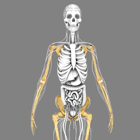 didactic: Human Skeleton