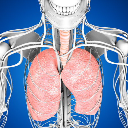 human lungs: Human Lungs Stock Photo