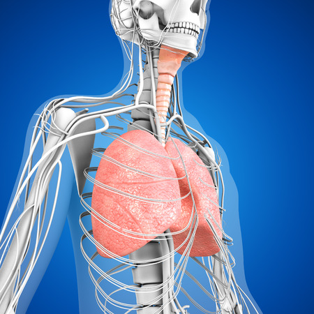 esophagus: Human Lungs Stock Photo