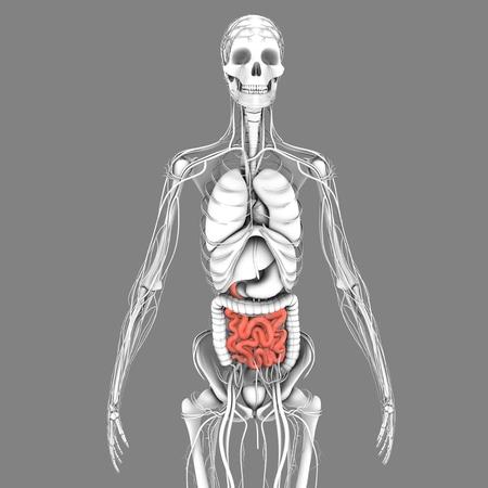 intestino: Intestino delgado