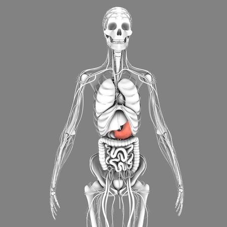 reflux: Stomach Stock Photo