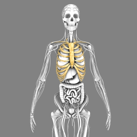 sternum: Ribcage Stock Photo