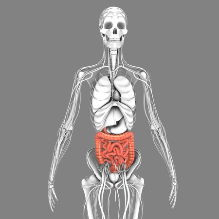 ileum: Small and large intestine Stock Photo