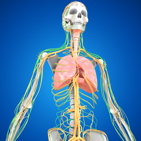 lung transplant: Human Lungs with heart Stock Photo