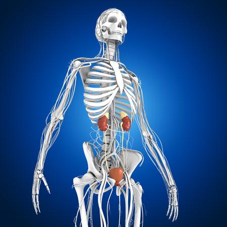 kidney stones: Kidneys Stock Photo