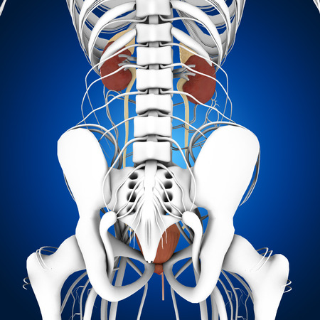 physiology: Kidneys Stock Photo