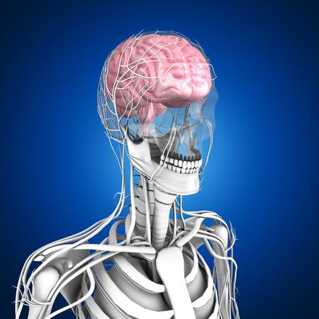lateral view: Human Brain