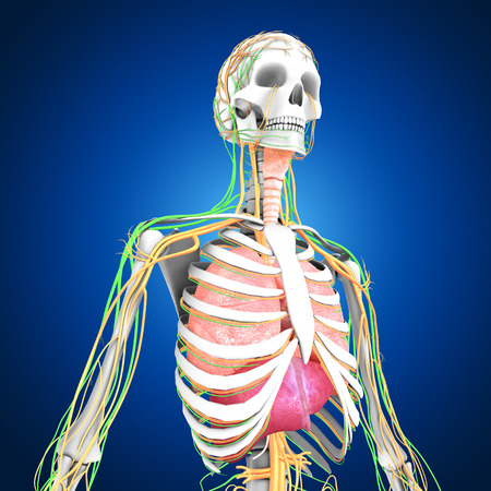 Human Organs Stock Photo, Picture And Royalty Free Image. Image ...