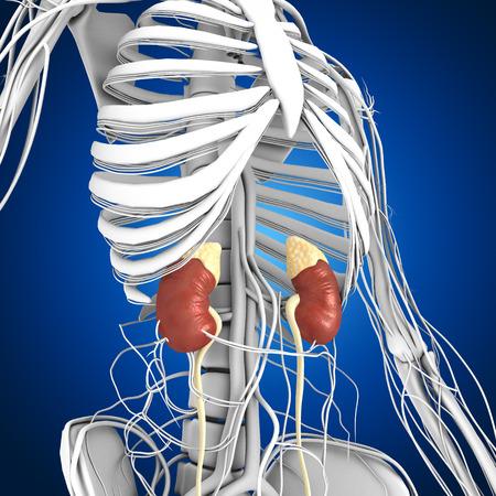 organos internos: Riñones Foto de archivo