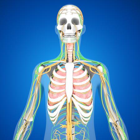 lobe: Human Lungs Stock Photo