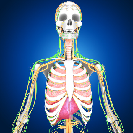 chest cavity: Human Lungs Stock Photo