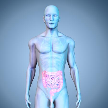 large intestine: Intestino delgado y grueso Foto de archivo