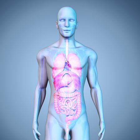 hearts: Human Organs