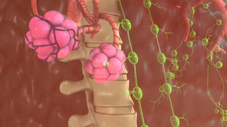 alveoli: Alveoli