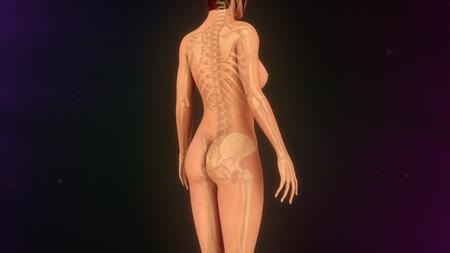 digital illustration: Female skeleton