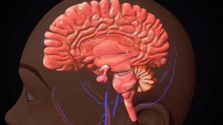 thalamus: Human Brain