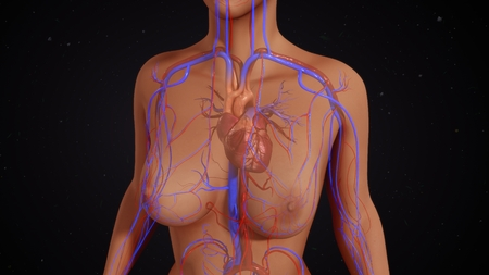 ventricle: Female heart