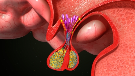 Pituitary gland anatomy Stock Photo