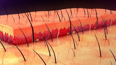piel humana: Anatomía de la piel Foto de archivo