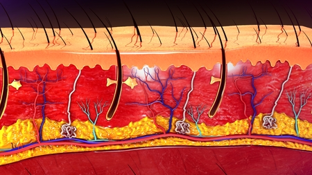 cell layers: Skin Anatomy