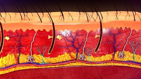 melanin: Skin Anatomy