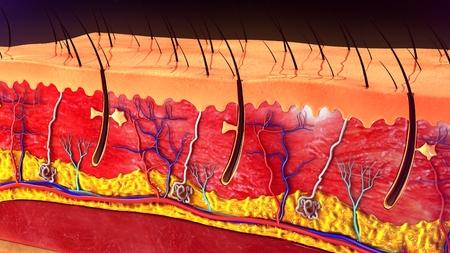 sensory: Skin Anatomy