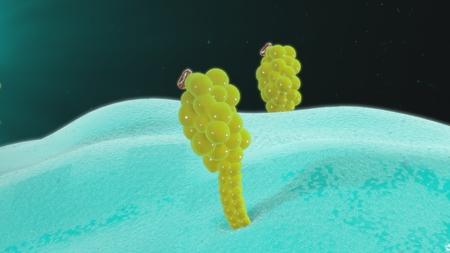 leukocyte: Antigen presenting cells