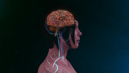 cranium: Human brain