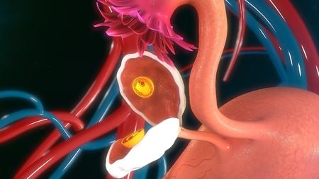 semen: Fertilised egg in ovary