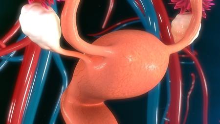 ovaries: Uterus