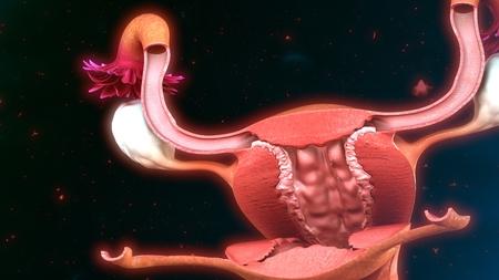 ovaries: Uterus anatomy