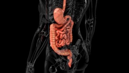 gut: Digestive system