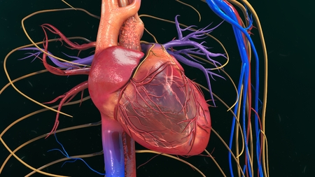 right atrium: Human Heart