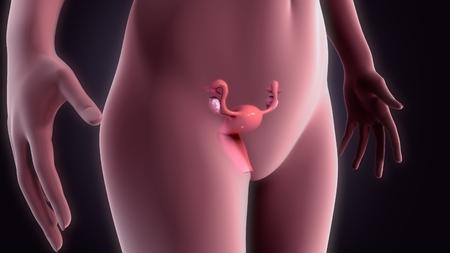 cervix: Uterus