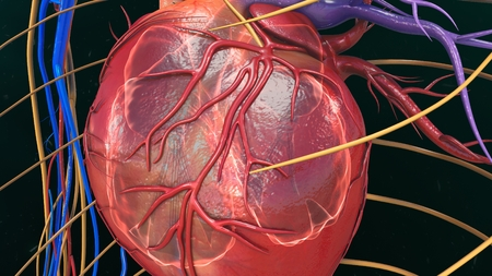 right ventricle: Human Heart anatomy