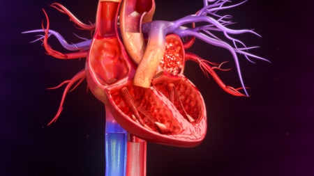 circulating: Human Heart anatomy