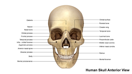 frontal view: Skull Anterior view