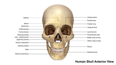 anterior: Skull Anterior view