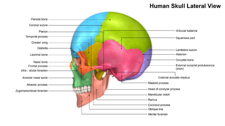 lateral: Skull Lateral view