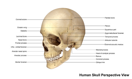 frontal view: Skull Perspective view Stock Photo