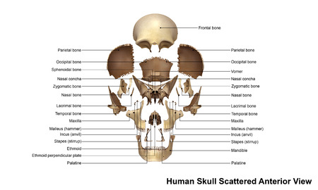 scattered: Skull Scattered Anterior view Stock Photo