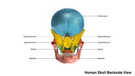 maxilla: Skull Back view