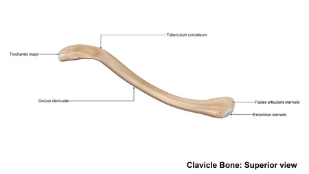 superior: Clavicle bone Superior view