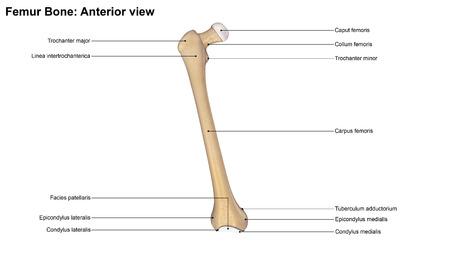 anterior: Femur bone Anterior view