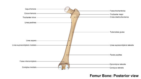 posterior: Femur bone Posterior view