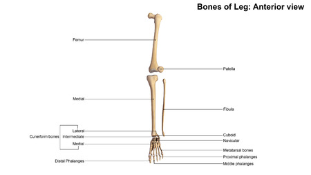talus: Leg bones