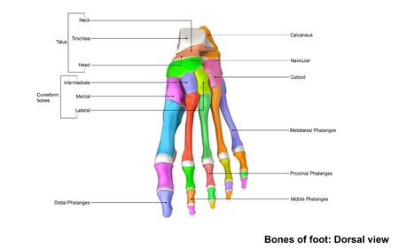huesos del pie vista dorsal