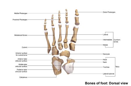 Foot bones Dorsal view
