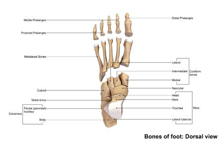 plantar: Foot bones Dorsal view