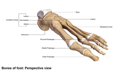Foot bones Perspective view Stock Photo